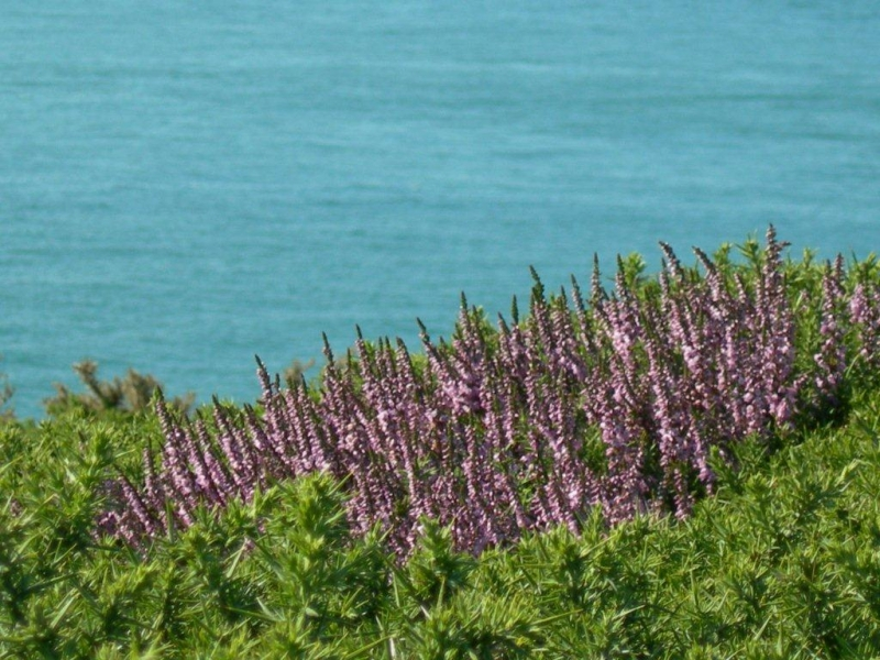 Flowers on the Pembrokeshire Coast